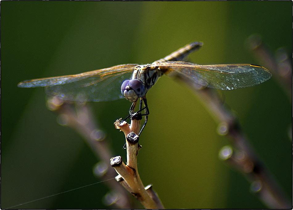 """фото """"Стрекоз(а)\(ел)"""" метки: природа, макро и крупный план, насекомое"""