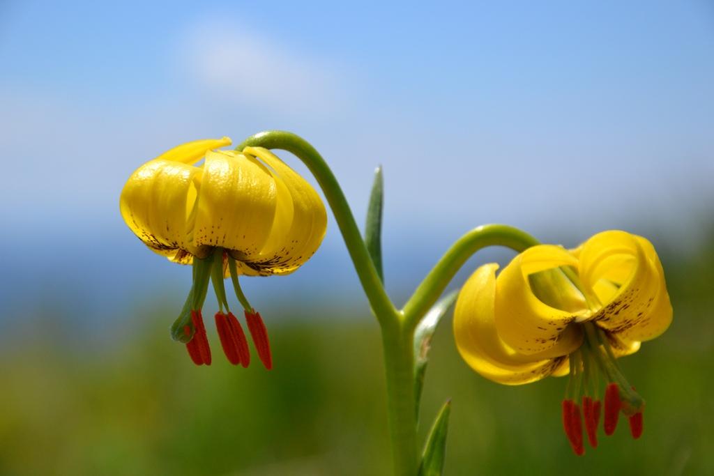 "photo ""Lilium jankae"" tags: nature, flowers"