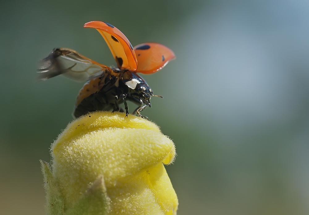"""фото """"В добрый путь"""" метки: макро и крупный план, природа, насекомое"""