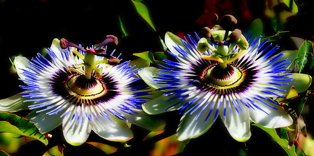 "photo ""Two... Passion Flowers..."" tags: nature, flowers"