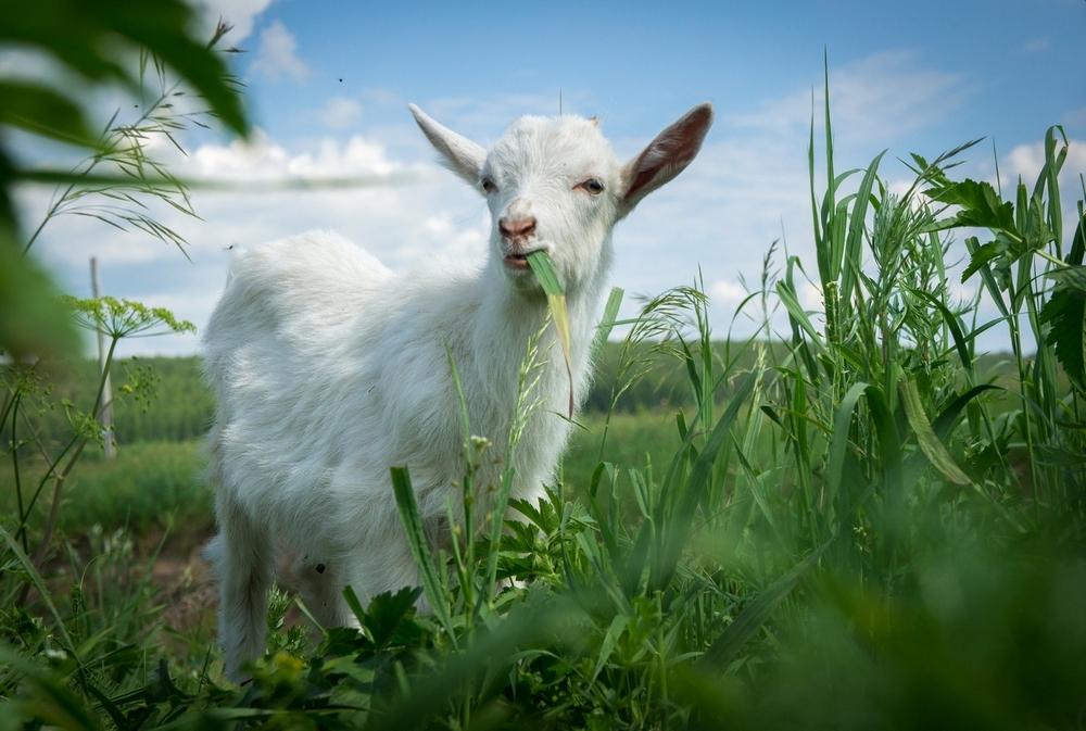 """фото """"Белый козлик за трапезой"""" метки: природа, домашние животные"""