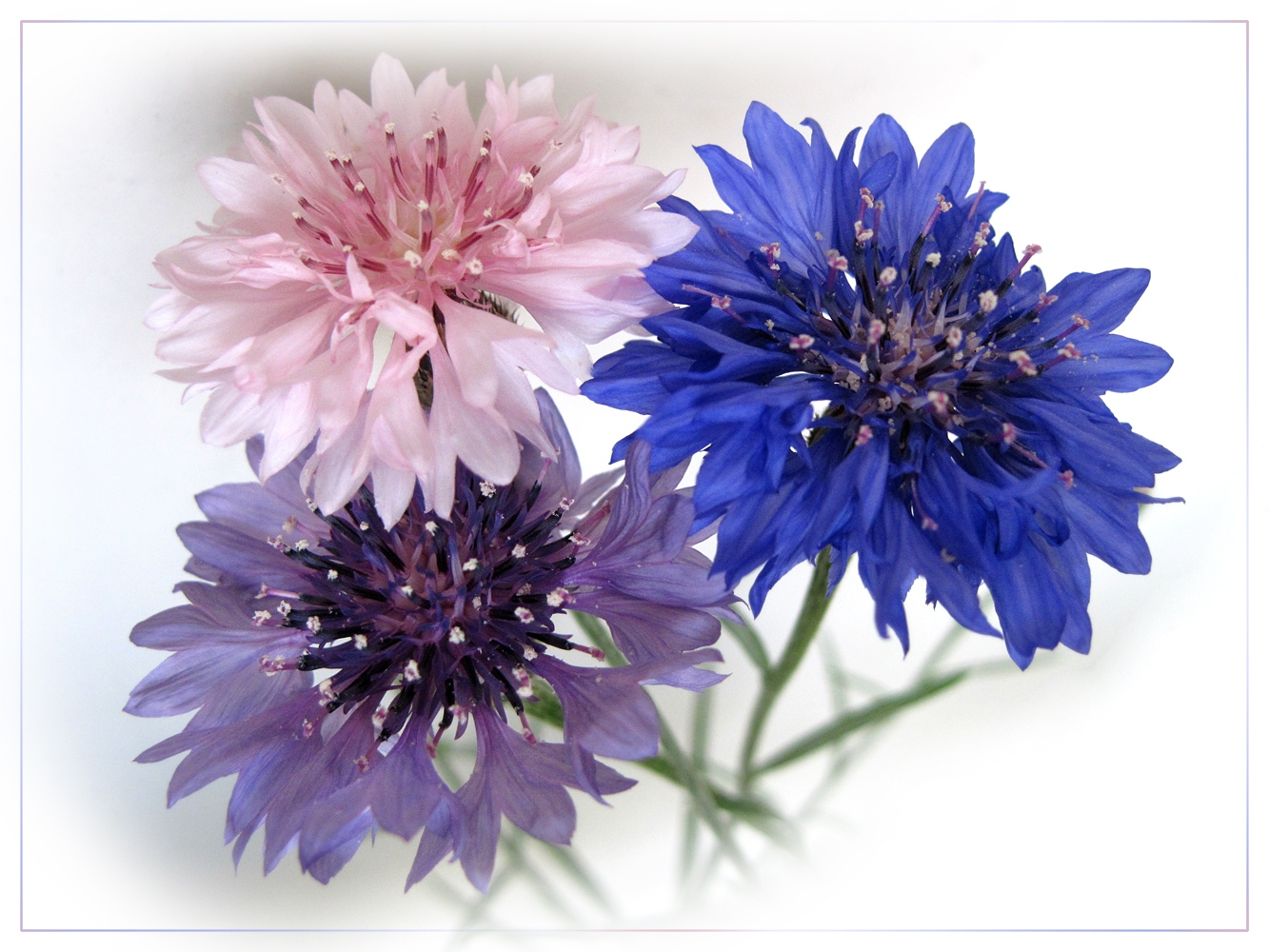 "photo ""Cornflowers"" tags: nature, macro and close-up, flowers"