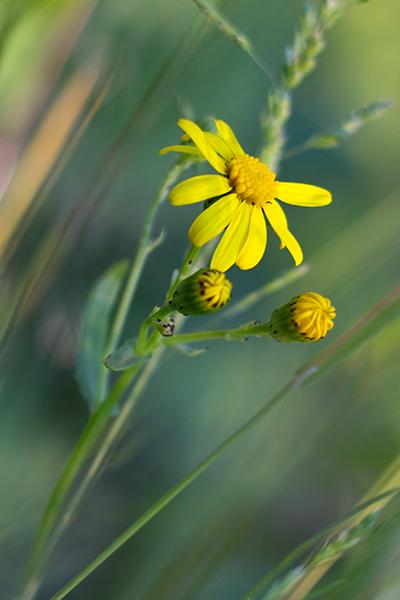 """фото """"Цветок с обочины июня"""" метки: природа, цветы"""