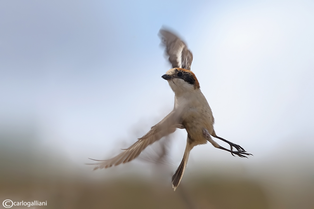 "photo ""Woodchat Shrike"" tags: nature, wild animals"
