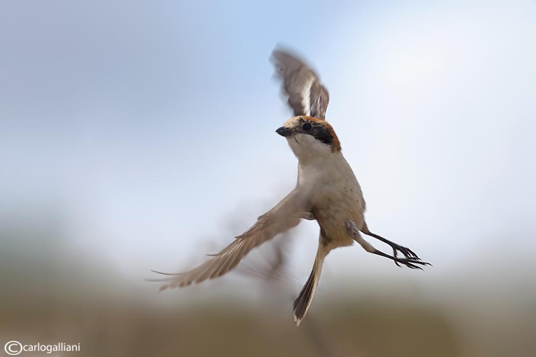 "фото ""Woodchat Shrike"" метки: природа, дикие животные"