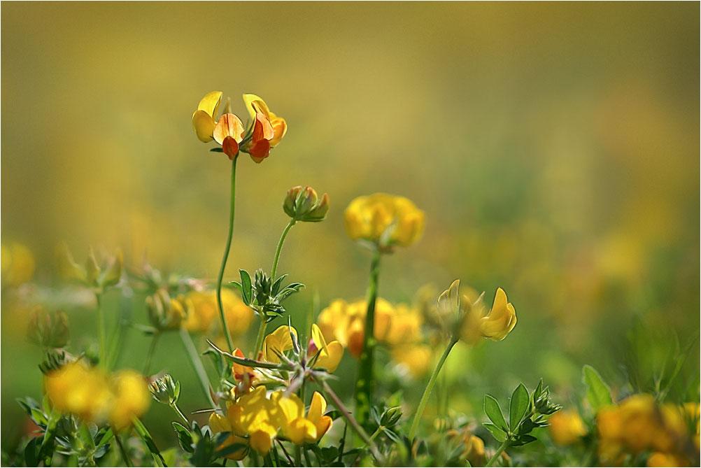 """фото """"Лето..на лугу растут цветочки"""" метки: природа,"""