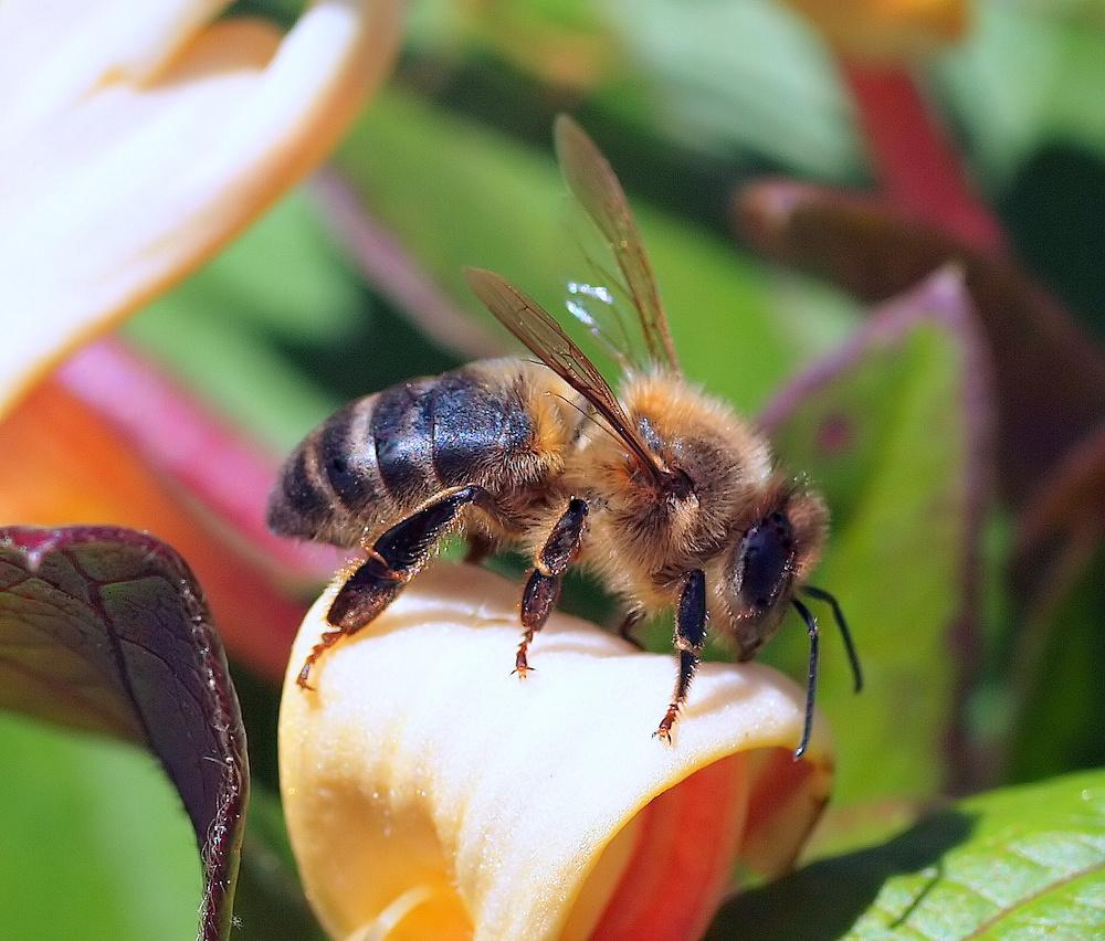 """фото """"Thw bee..."""" метки: природа, насекомое"""
