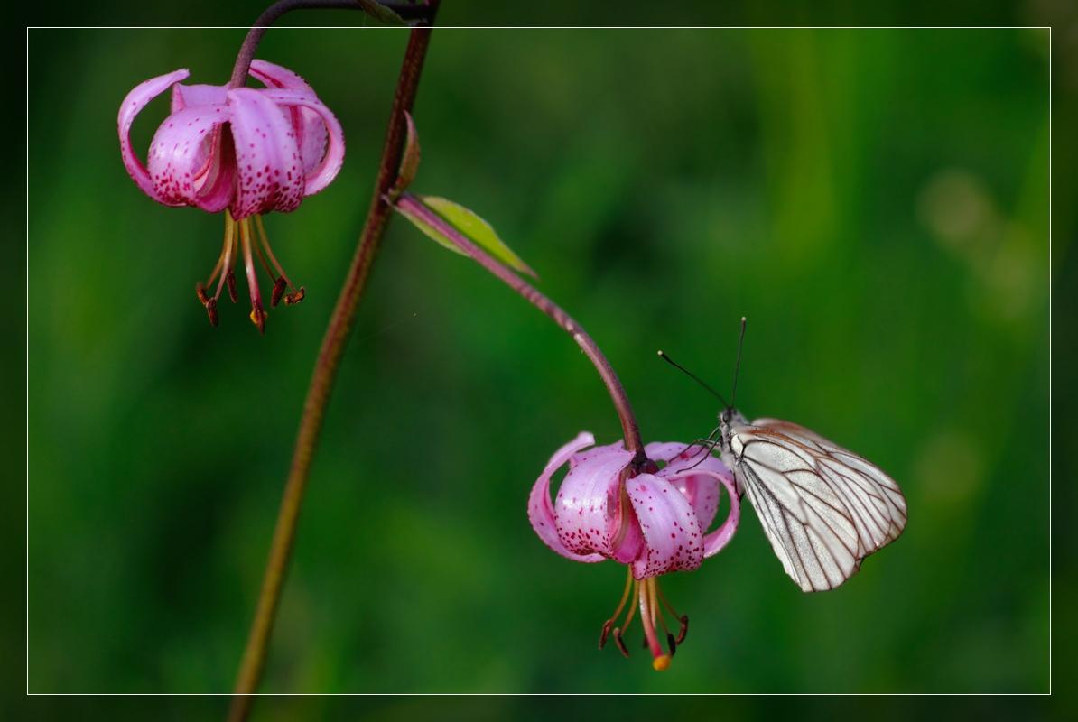 "фото ""На саранке....как на качеле))"" метки: природа, цветы"