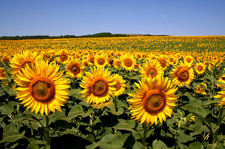 "photo ""***"" tags: landscape, nature, flowers, summer, sunflower"