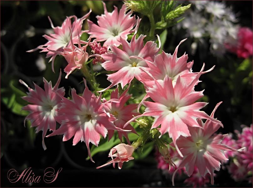 Цветы мерцающая звезда