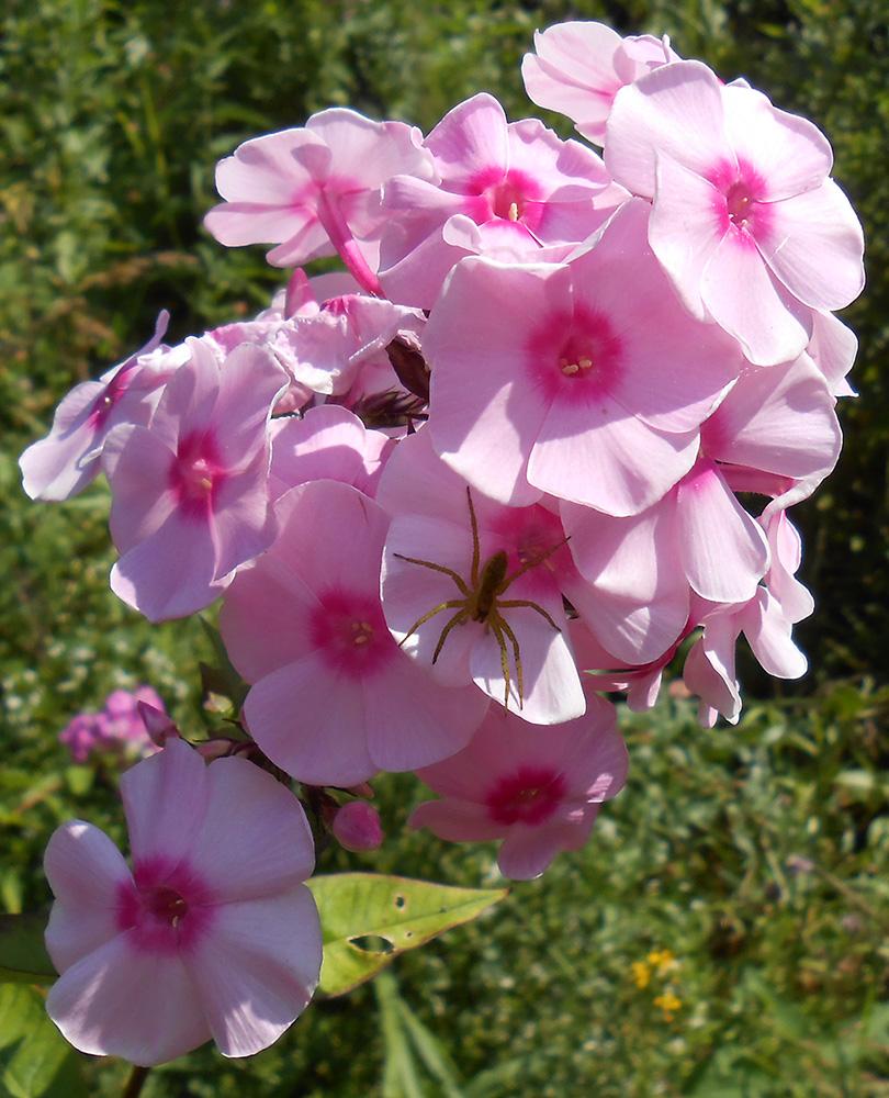 """фото """"Паучок на флоксе"""" метки: природа, макро и крупный план, phlox, spider, цветы"""