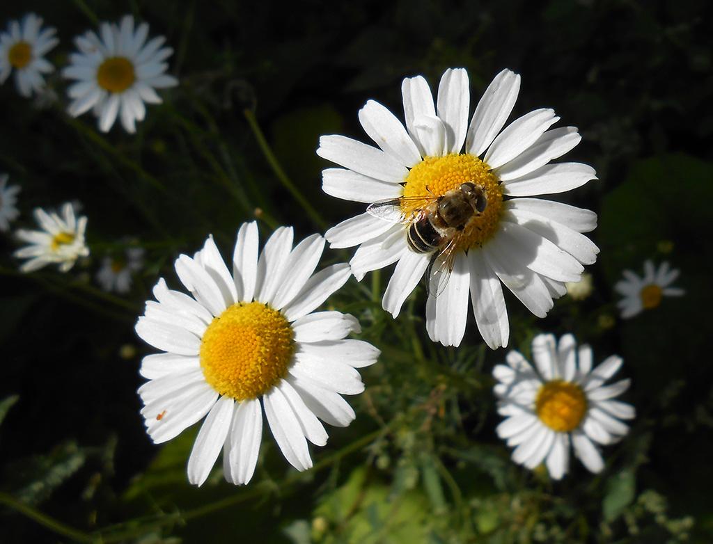 """фото """"Пчелообразное на ромашке"""" метки: природа, макро и крупный план, насекомое, цветы"""