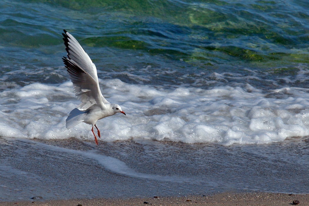 "photo ""Dancing in the air"" tags: nature, bird, sea"
