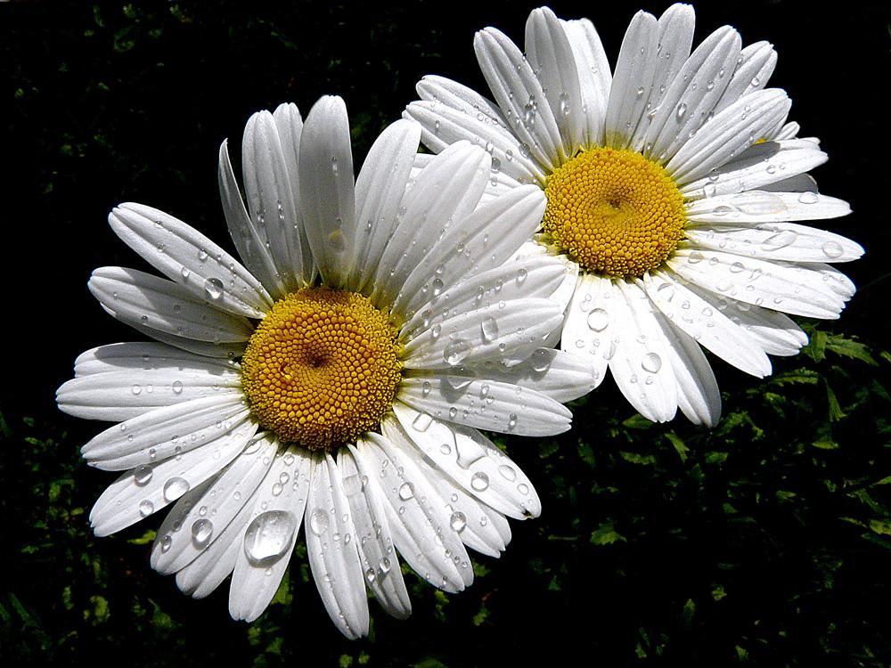 """фото """"***"""" метки: природа, макро и крупный план, весна, капля, цветы"""