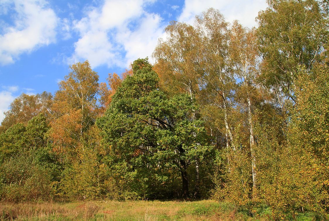 "фото ""Одинокий дубок"" метки: природа, лес, осень"