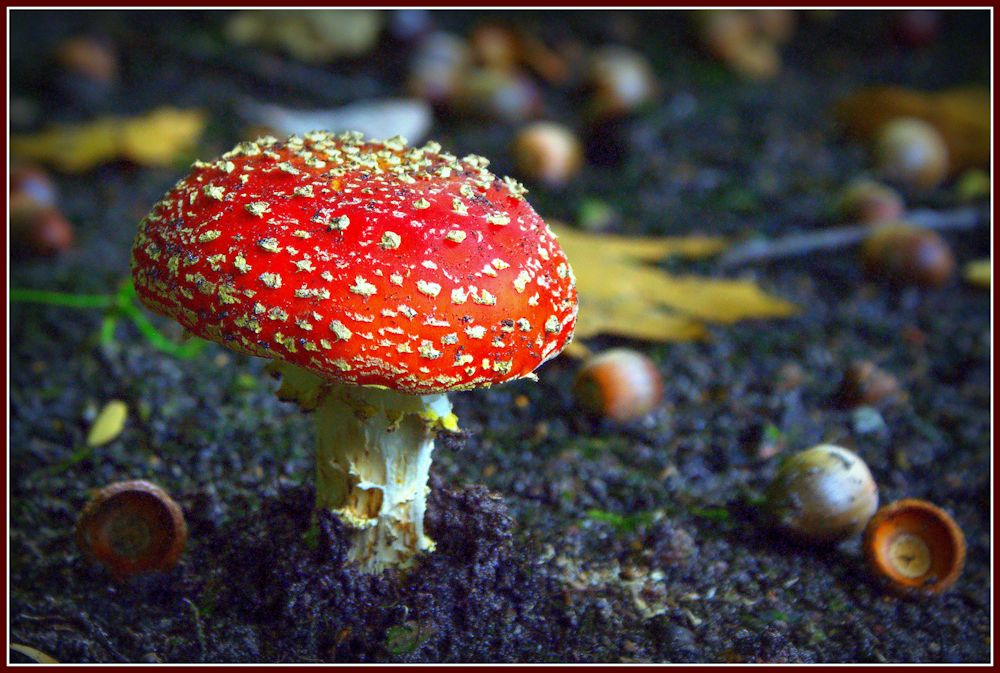 "photo ""Amanita muscaria"" tags: macro and close-up, Belgium, Geel, Ten Aard, autumn"