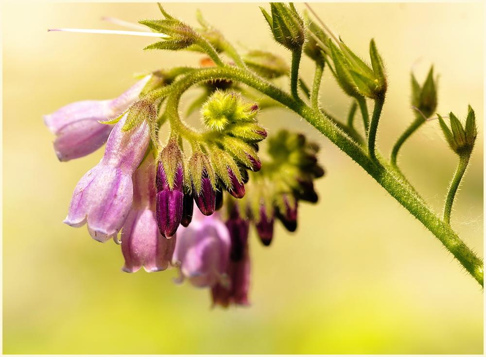 """фото """"Сиреневая нежность..."""" метки: природа, макро и крупный план, лето, цветы"""