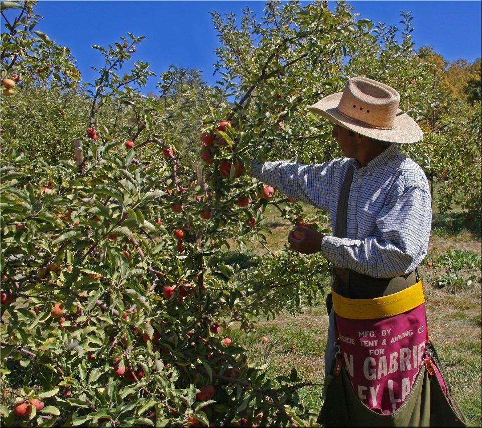 """photo """"Apple Harvest"""" tags: landscape, genre, nature,"""