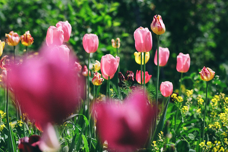 "фото ""Тюльпаны"" метки: природа,"