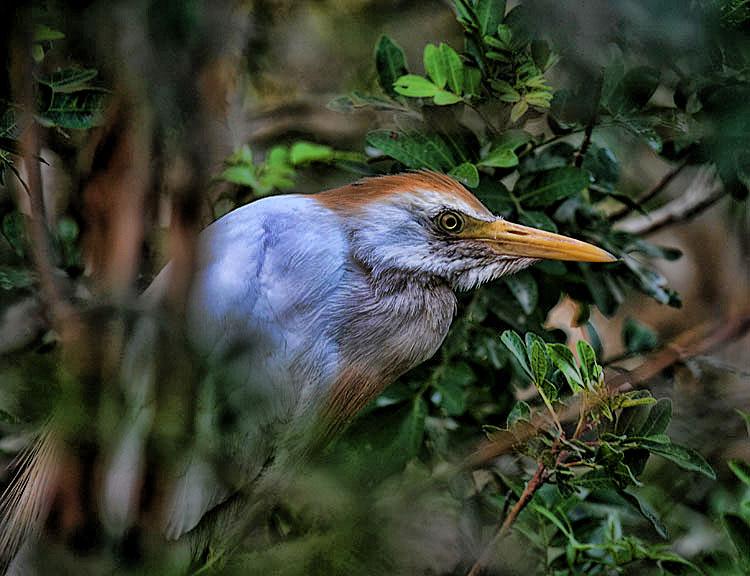 """фото """"Cattle egret"""" метки: природа,"""