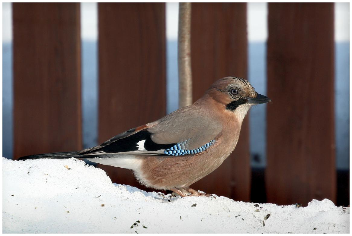 """фото """"Лесная гостья 2"""" метки: природа, птица"""