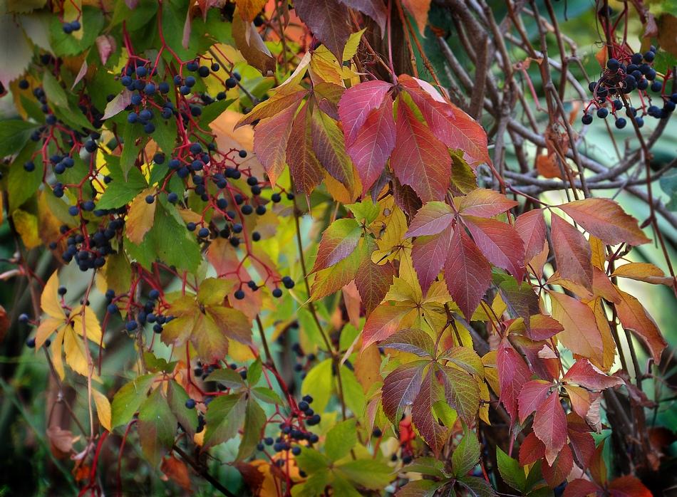 """фото """"Девичий виноград"""" метки: пейзаж, девичий виноград, осень, растение"""