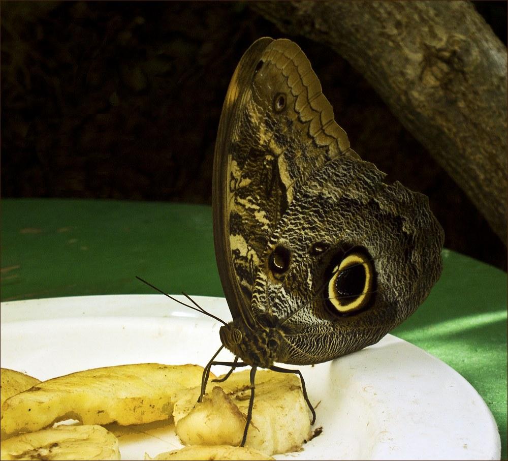 """фото """"Любительница бананов."""" метки: макро и крупный план, природа, бабочка, насекомое"""