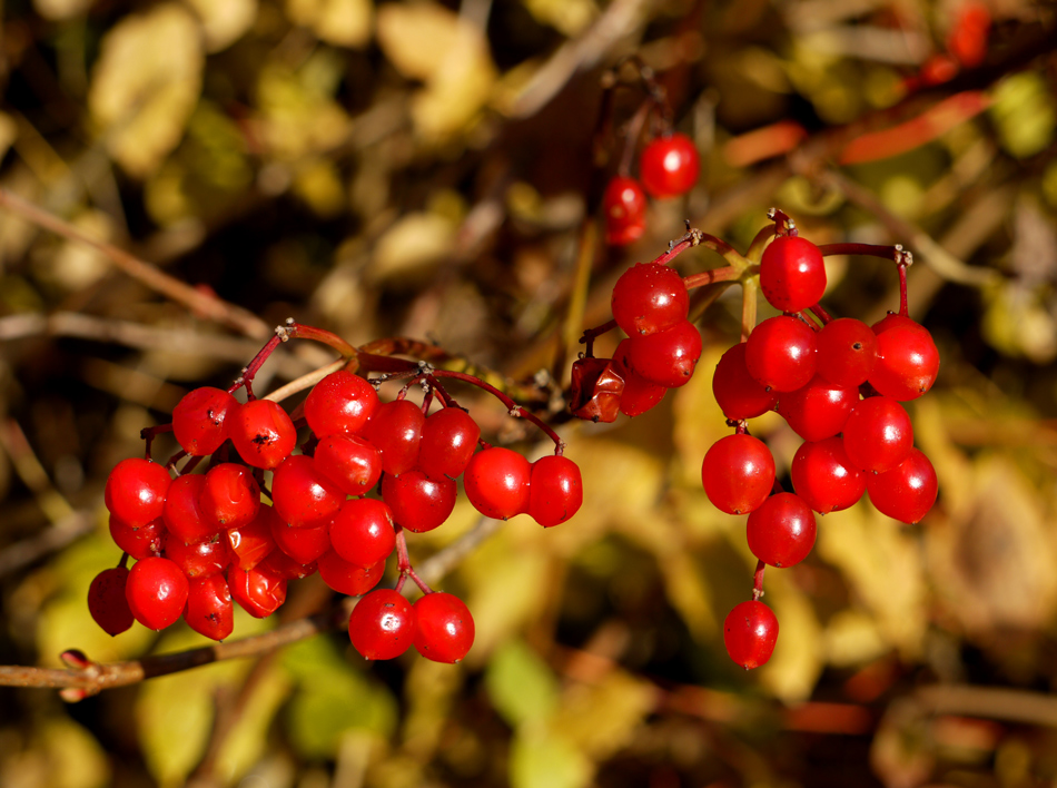 "photo ""Red berries"" tags: macro and close-up, autumn, flowers"