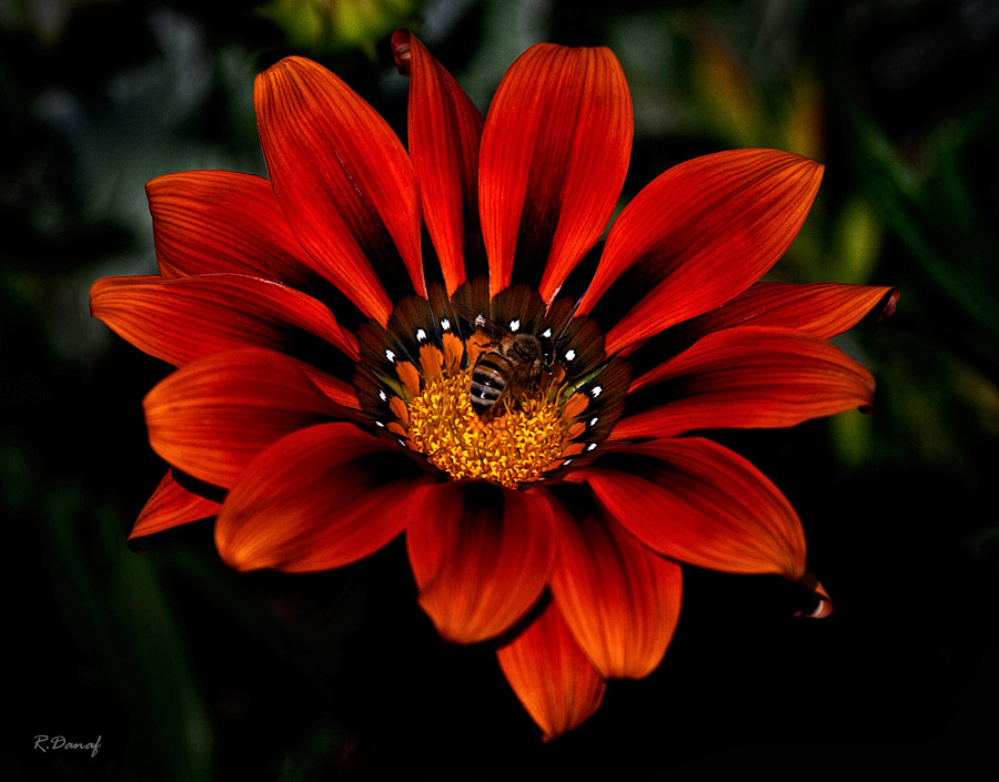 "фото ""Bee on gazania"" метки: природа, насекомое, цветы"