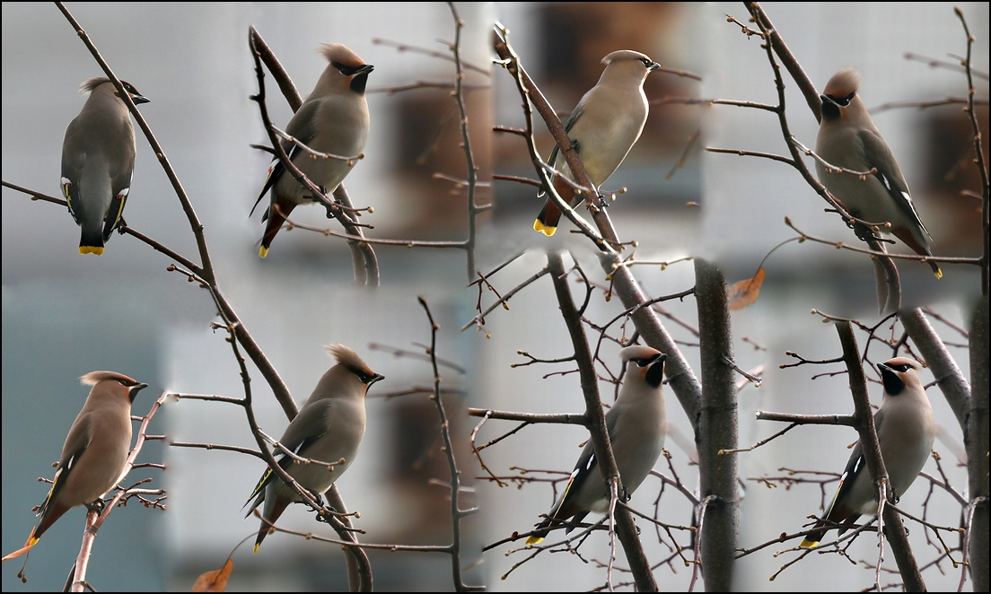 "photo ""Waxwings have arrived"" tags: nature, montage, bird"