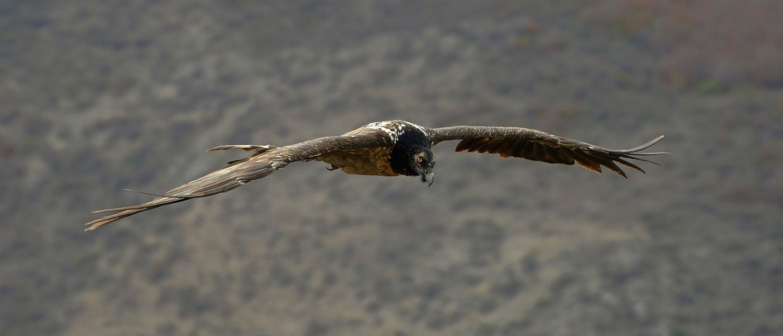 """фото """"Сейчас птичка вылетит"""" метки: природа, бородач, взгляд, горы, дикие животные, крылья, полет, размах"""