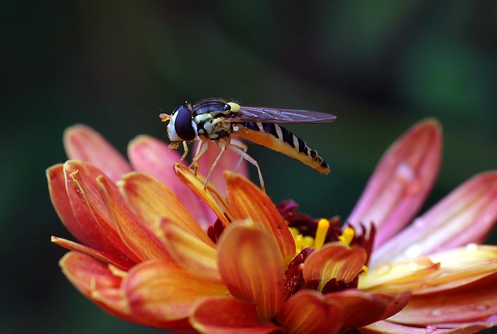 "photo ""муха-журчалка"" tags: macro and close-up, nature, insect, муха-журчалка"