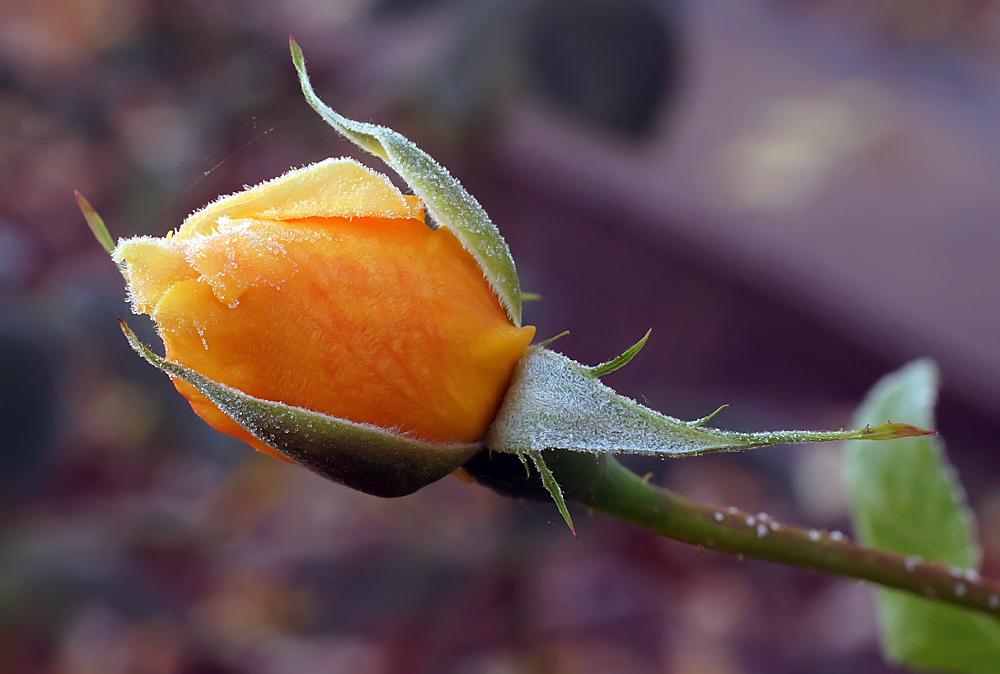 """фото """"Роза на морозе"""" метки: природа, макро и крупный план, роза"""
