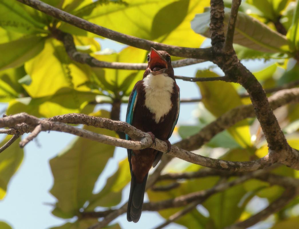 "фото ""Оперный певец"" метки: путешествия, Шри Ланка, дерево, клюв, птица, синяя, тропики"