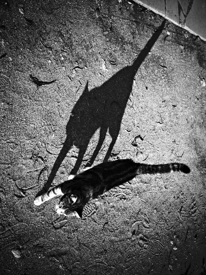 """фото """"Раздвоение кошачьей личности"""" метки: разное, черно-белые, природа, кошка, тень"""
