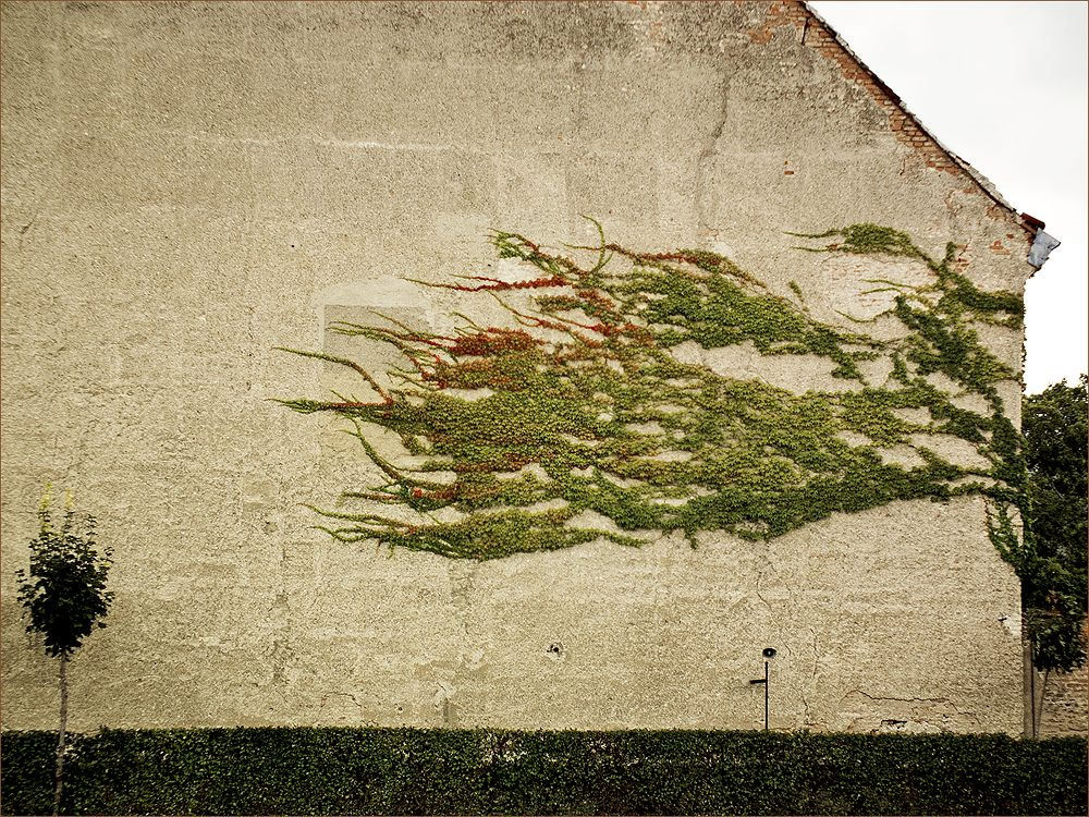 "photo ""Wall"" tags: abstract, fragment, misc., ivy, wall, плющ, стена"