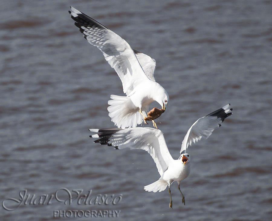 "фото ""***"" метки: природа, air warfare, fight, seagul, velasco, птица"