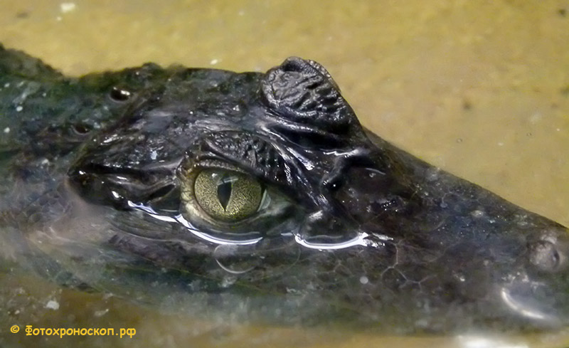 "photo ""крокодил"" tags: nature, крокодил"