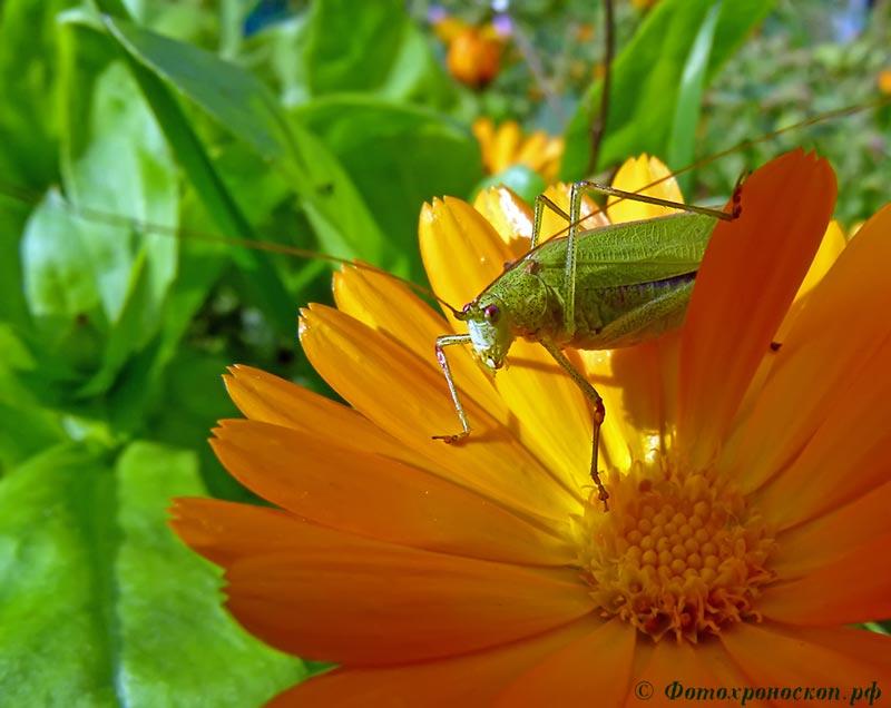 """фото """"Кузнечик"""" метки: природа, кузнечик, насекомое"""