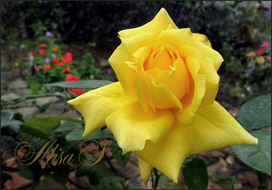 """фото """"Жёлтая."""" метки: природа, цветы"""