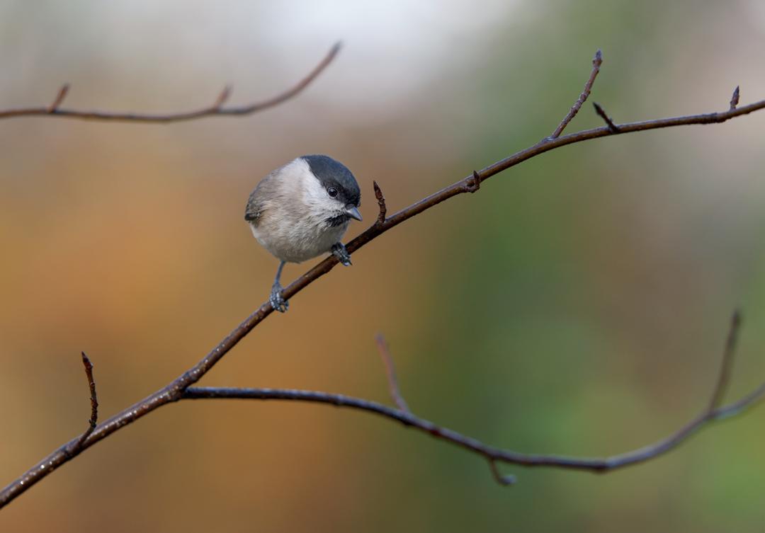"фото ""Weidenmeise"" метки: природа, птички"