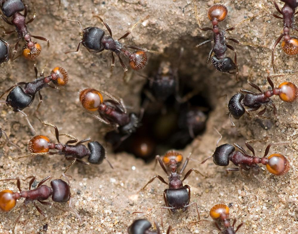 """фото """"Ants at entrance to nest"""" метки: природа, макро и крупный план, насекомое"""