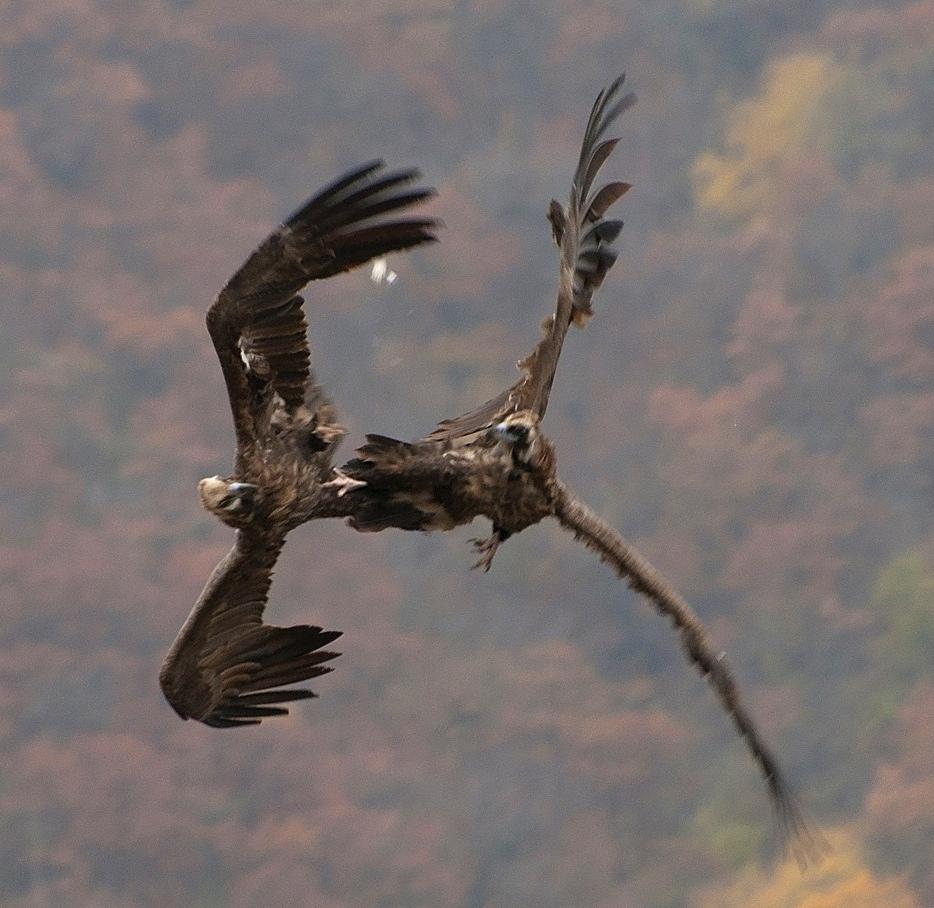 """фото """"Воздушная дуэль"""" метки: природа, горы, гриф, дикие животные, крылья, полет, размах"""