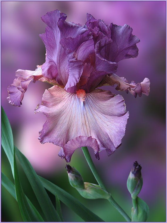 "photo ""For ... and All who like Irises"" tags: nature, montage, flowers, summer, ирисы"