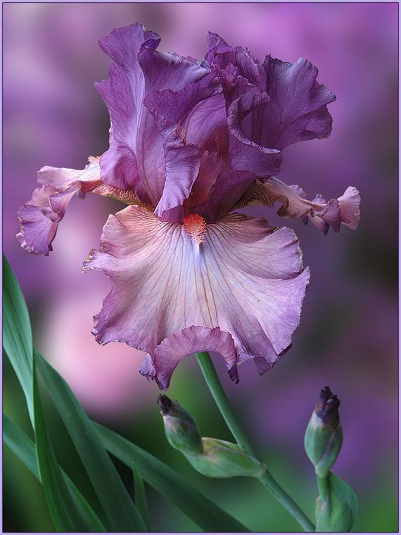 """фото """"М.Агарковой и Всем, кто любит ирисы"""" метки: природа, фотомонтаж, ирисы, лето, цветы"""