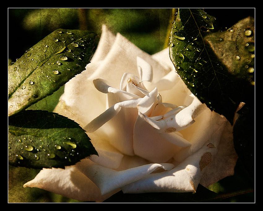 """фото """"Роза"""" метки: природа,"""