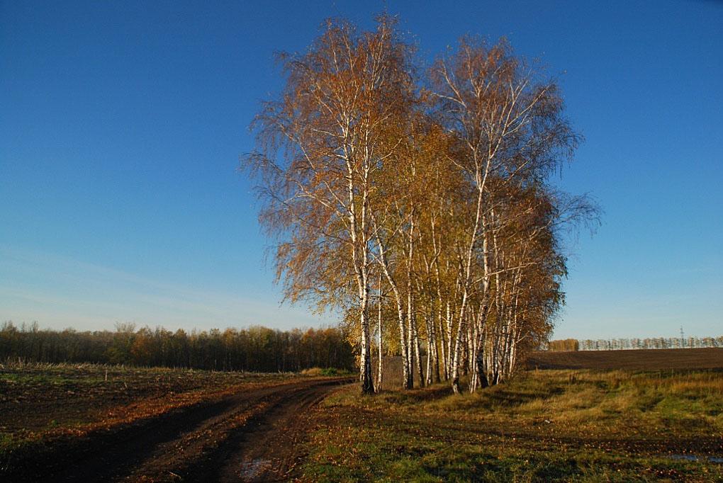 """фото """"Земля обнажилась..."""" метки: пейзаж, березы, земля, осень"""