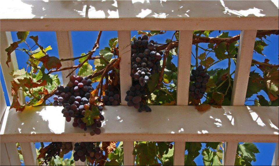 "фото ""Fruit Of The Vine"" метки: природа, натюрморт,"