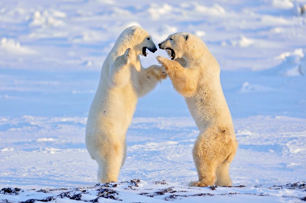 """фото """"Разборки в Арктике"""" метки: природа,"""