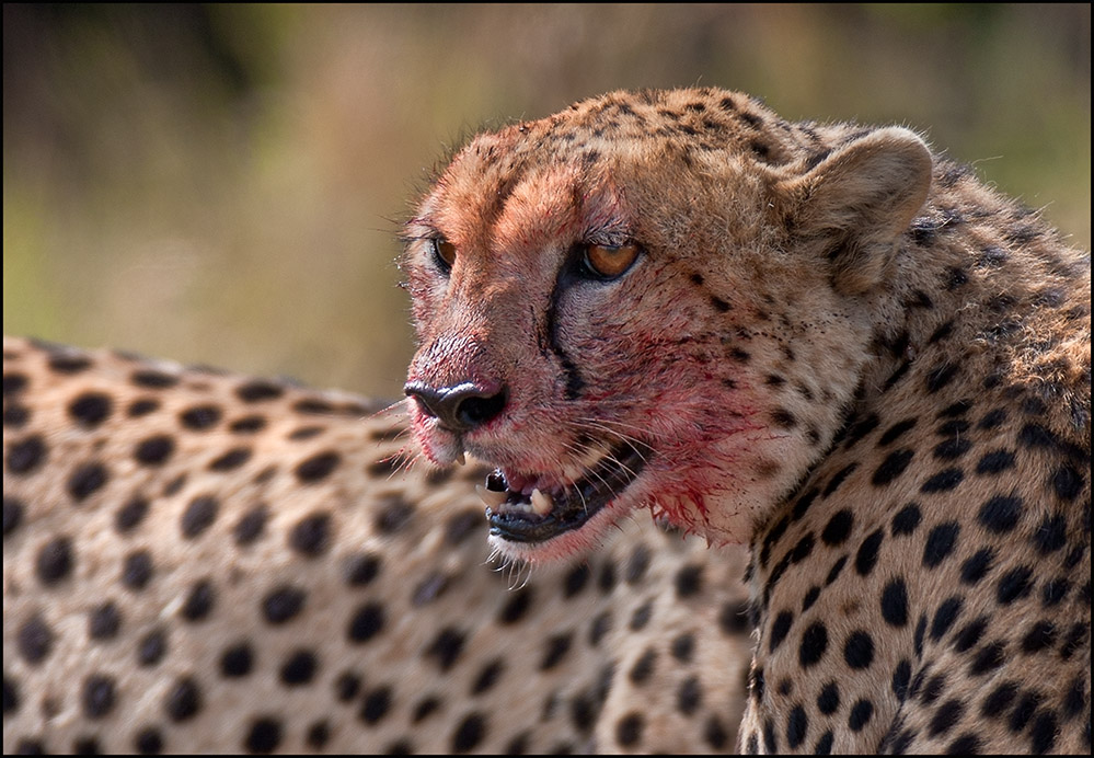 """фото """"Такая жестокая жизнь"""" метки: природа, Африка, дикие животные"""